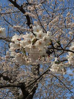 桜の花の写真・画像素材[1124627]