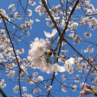 桜祭りの写真・画像素材[1124647]