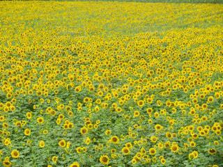 北海道ツーリング 北竜のひまわり畑の写真・画像素材[1124670]