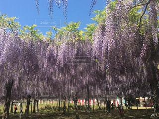 藤祭りの写真・画像素材[1135955]