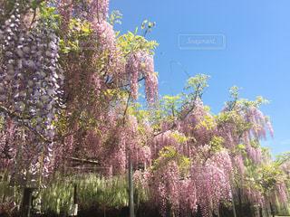 藤の花の写真・画像素材[1135956]