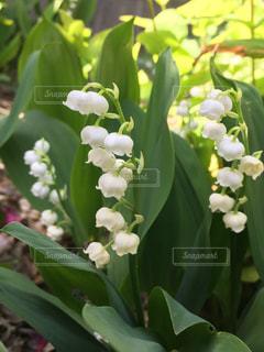 自宅の庭に咲いていたかわいいスズランです。の写真・画像素材[1144758]