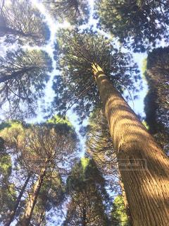 杉の大木の写真・画像素材[1180071]