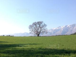 一本桜の写真・画像素材[1180108]