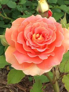 薔薇の写真・画像素材[1200725]