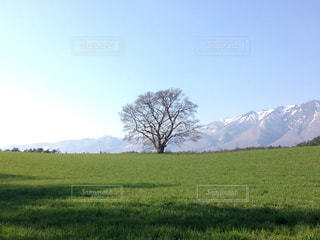 小岩井の一本桜の写真・画像素材[1200734]