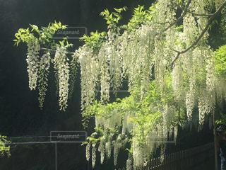 和気公園の藤祭りの写真・画像素材[1690211]