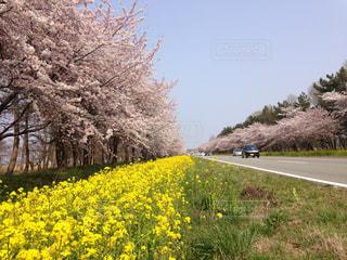 花,桜,花見,東北,秋田,菜の花ロード