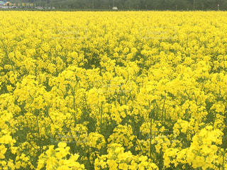 花,春,黄色,菜の花,東北,秋田