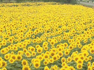 花,夏,ひまわり,黄色,田沢湖