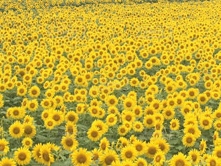 花,夏,ひまわり,黄色,秋田,田沢湖