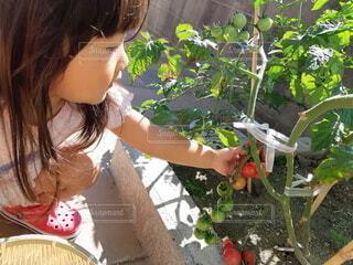 トマトの収穫の写真・画像素材[3689753]