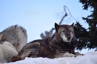 雪の上の動物の写真・画像素材[1732480]