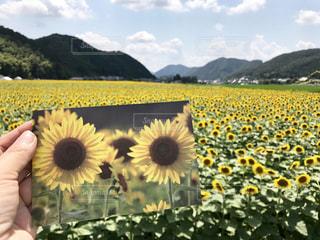 ひまわり,黄色,向日葵,ひまわり畑,色,兵庫県,きいろ,yellow,佐用町,7月,8月