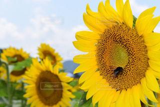 植物,ひまわり,黄色,向日葵,蜂,ひまわり畑,色,兵庫県,きいろ,yellow,佐用町,8月