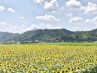 植物,ひまわり,黄色,向日葵,ひまわり畑,色,兵庫県,きいろ,yellow,佐用町,7月,8月