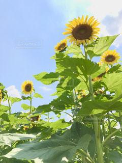 夏,植物,ひまわり,綺麗,青空,黄色,向日葵,幸せ,ひまわり畑,カラー,色,兵庫県,きいろ,yellow,佐用町
