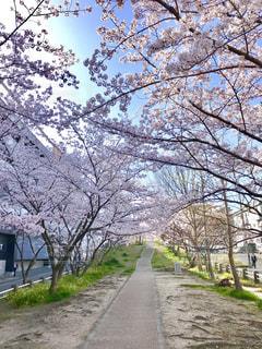 桜のトンネルの写真・画像素材[1851532]