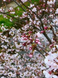 春,桜,ピンク,植物,川,花見,お花見,川沿い,さくら,芦屋市