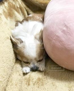 犬,チワワ,茶色,クッション,ソファー,お昼寝,ベージュ,色・表現,ミルクティー色