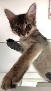 カメラを見ている猫の写真・画像素材[2292142]