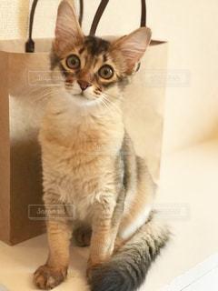 カメラを見ている猫の写真・画像素材[2294260]