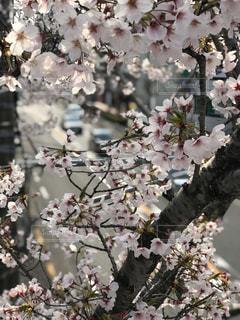 桜満開の写真・画像素材[3071671]