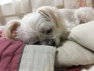 ベッドの上に横たわる犬の写真・画像素材[1718869]