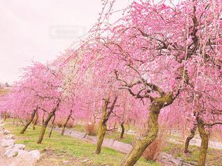 自然,公園,花,屋外,ピンク,梅,お花見,桃色,pink,いなべ市梅林公園