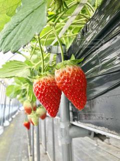 苺,果実,甘い,いちご狩り,新鮮,赤い