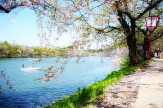 桜の写真・画像素材[1982751]