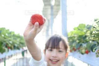 冬,赤,白,女の子,いちご,果物,果実,いちご狩り,関東