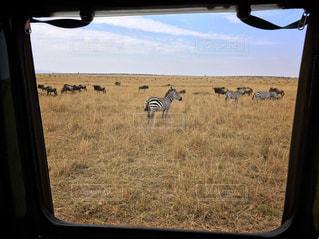 動物,海外,観光,海外旅行,サファリ,アフリカ,ケニア,サバンナ,シマウマ,マサイマラ,サファリドライブ