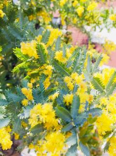 緑,植物,かわいい,綺麗,葉っぱ,黄色,可愛い,ミモザ