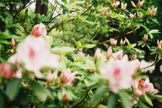 自然,花,屋外,緑,植物,ツツジ,フィルム,フィルムカメラ,フィルム写真,フィルムフォト,アンティークカメラ