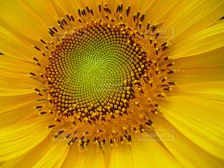 屋外,ひまわり,黄色,花びら,鮮やか,アップ,野外,「花」