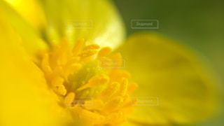 黄色,花びら,鮮やか,アップ,野外,キンポウゲ