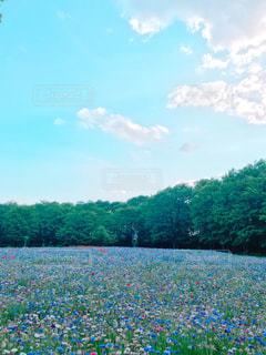 自然,お花畑,屋外,ブルー,ファンシー