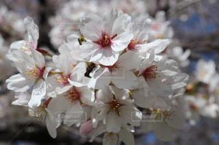 桜,晴天,サクラ