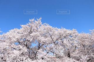 桜,晴天,花見,サクラ