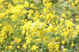 菜の花,花見