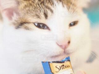 猫のアップの写真・画像素材[4244589]