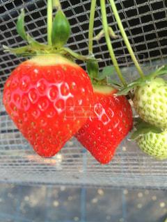 冬,美味しそう,果物,ハウス,果実,甘い,美味しい,丸い,赤い,イチゴ