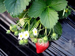 食べ物,緑,葉,白い花,苺,フルーツ,果物,実,果実,ベリー,いちご狩り,新鮮,赤色,ストロベリー,食材,ビタミンC,フレッシュ,小さい花,イチゴ,ハウス栽培,ビニールハウス,食べ頃,グリーンハウス