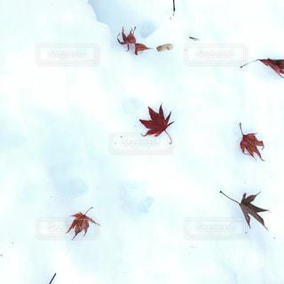 雪と紅葉の写真・画像素材[1732223]