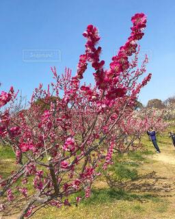 花,春,梅,花見,愛知県,梅祭り,知多市,佐布里