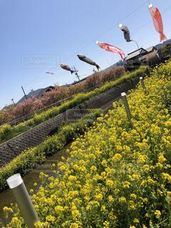 フィールド内の黄色の花の写真・画像素材[1873621]
