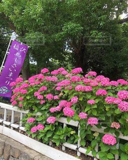 花,植物,あじさい,紫陽花,梅雨,愛知県,アジサイ,あじさいまつり,稲沢市
