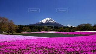 自然,空,桜,富士山,大地,芝桜,ゴールデンウィーク,pink