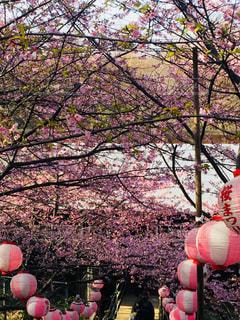 花,春,桜,屋外,ピンク,花見,景色,桃色,河津桜,三浦,ブロッサム,桜まつり